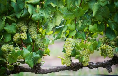 Top 15 South African white wines