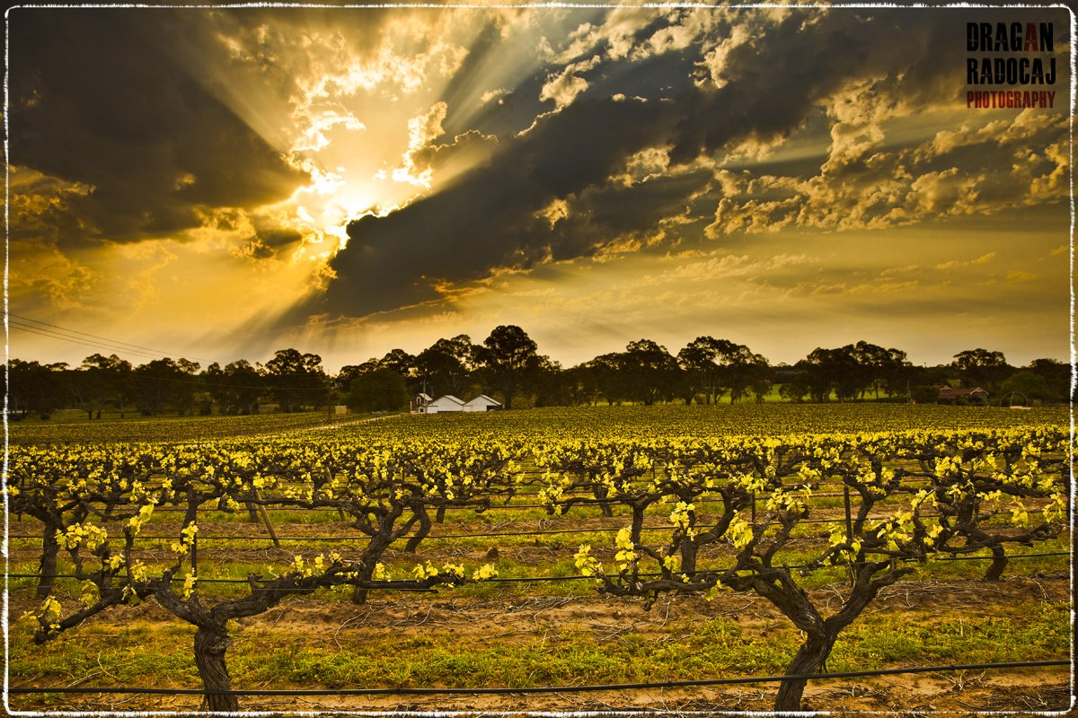 wolf-blass-vineyards-medlands-estate.jpg